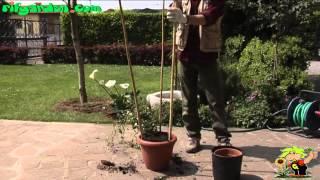 trellis plants in pots